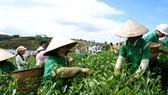 Ngành trà Bảo Lộc đang đứng trước nhiều thách thức