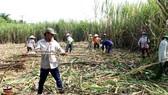 Tại tỉnh Hậu Giang xuất hiện nhiều nông dân vươn lên khá giả từ cây mía