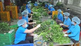 Chế biến rau VIETGAP xuất khẩu tại HTX Phước An. Ảnh: CAO THĂNG
