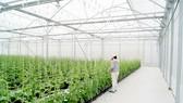 Canh tác không sử dụng đất trong nhà màng thuộc Công ty TNHH XNK Nông nghiệp Kiến Tường