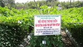 Mô hình sản xuất rau ăn quả theo quy trình VietGAP tại xã Thái Mỹ, huyện Củ Chi
