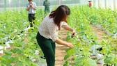 Trồng dưa lưới trong nhà màn tại Khu Nông nghiệp công nghệ cao (Củ Chi)