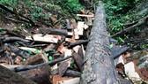 Kon Tum: Điều tra vụ phá rừng dọc suối Giao