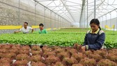 Clean vegetable farming in Ward 5, Da Lat city (Photo: SGGP)