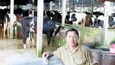 A dairy cow farm in Cu Chi district, HCMC (Photo: SGGP)