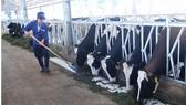 Nuôi bò cung ứng sữa organic tại tỉnh Lâm Đồng. Ảnh: THÀNH TRÍ