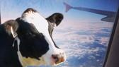 """""""Những con bò bay"""", vũ khí hiệu quả giúp Qatar chống lại Ả rập Xê út"""
