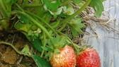 新鮮水果對遊客極具吸引 力,往往在果園即場摘食。