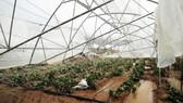 本月4和5日林同出現狂風大雨,使到林同省所屬的大勒市和若干縣許多蔬菜種植專區受到嚴重損害。很多菜園被水淹、摧殘。(圖源:金英)