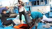 Ngư dân trúng đậm cá ngừ đại dương