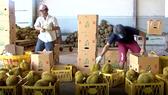 VIDEO: Được mùa, sầu riêng Đắk Lắk giá cao kỷ lục