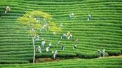 Cau Dat tea hill