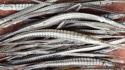 Cà Mau: Chỉ đạo nắm thông tin thương lái mua cá lìm kìm gai