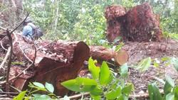 Nhiều cây rừng có đường kính lên tới 60cm bị triệt hạ.
