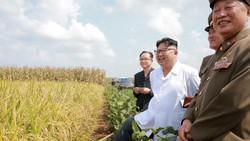 Nhà lãnh đạo Triều Tiên Kim Jong-un thăm một cánh đồng trồng lúa và hoa màu                                                                                                                             Ảnh: KCNA/REUTERS