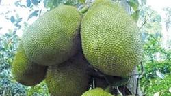 Nhiều nông dân Hậu Giang thu nhập tiền tỷ nhờ mít Thái