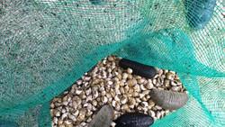 Quảng Ngãi: Đề xuất 1,9 tỷ tiếp tục nhân rộng mô hình nuôi thử nghiệm hải sâm ghép ốc hương