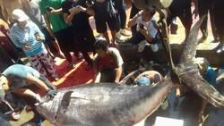 Cá ngừ vây vàng khủng được đặt lên nhiều cân để cân