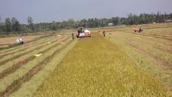 Tứ giác Long Xuyên là vùng sản xuất lúa gạo chủ lực của ĐBSCL