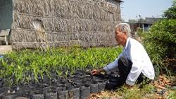 Ông Ba Lạc chăm sóc đám riềng giống cung ứng cho nông dân có nhu cầu trồng riềng