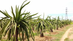 Thấy được giá, nhiều hộ dân tỉnh Bình Thuận tiếp tục mở rộng  diện tích cây thanh long