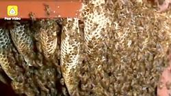 Tổ ong sống trong nhà 12 năm