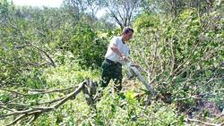 Ông Thiều Sĩ Hùng đang dùng cưa xăng cắt bỏ vườn cam đã trồng 6 năm không hiệu quả
