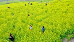 Ngắm hoa cải vàng rực rỡ trong nắng đông