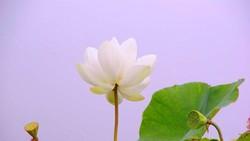 Chiêm ngưỡng khu đầm 12 loại sen quý gần Hà Nội