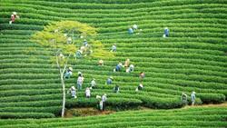 Khám phá vùng trà gần 100 năm tại Đà Lạt