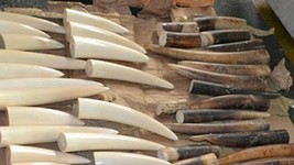 Illegal shipment of ivory intercepted by customs (Illustrative image. Source VNA)