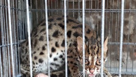 The rare cat caught by a local in Dam Doi (Photo: SGGP)