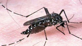The dengue virus is transmitted to humans via the bite of an infected mosquito ( Illustrative photo)
