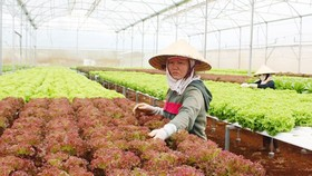 A worker in hi-tech farm in Lam Dong Province (Photo: SGGP)