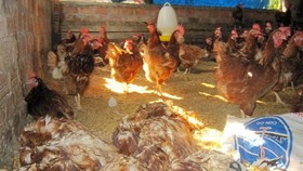 A/H5N1-affected chickens at a farm. (Photo: VNA)