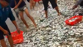 Fishermen of Cam Nhuong Commune caught tons of sardines