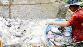 Exports of tra fish earns US$1.2 billion in first seven months