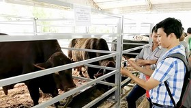 Dairy farmers turn to crossbred cattle