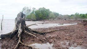 Ca Mau province loses 500-ha protection forest due to landslides annually