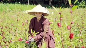 Chị Hà trong vườn Atiso đỏ đang kết quả. Ảnh: NGUYỄN TRANG