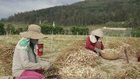 Thương lái giả mạo tỏi Lý Sơn khiến nông dân tồn đọng hơn 280 tấn tỏi