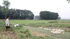 Người đàn ông bị điện giật tử vong khi đang chăm sóc đàn vịt trong mưa lũ