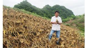 Khẩn trương điều tra vụ hủy hoại gần 4.000m² dứa ở Thanh Hóa