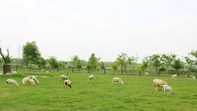 在田園上放養的羊群。
