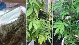 阿K向筆者介紹的大麻(左圖),以及年輕人透過網絡分享在家種植大麻的方法。