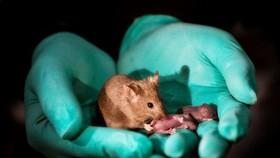 雌性雙親產下的健康小鼠,長大成年後又有了自己的後代。(圖源:中國科學院動物研究所博士後王樂韻)