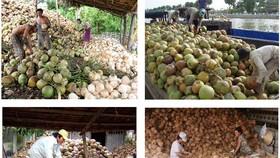 檳椥省乾椰子持續降價,有若干地方的售價每12個僅2萬元。(示意圖源:互聯網)