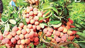 Vietnamese litchi has been exported to Australia (Photo: SGGP)