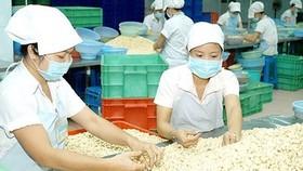 Vietnam is the world's top cashew exporter (Photo: SGGP)