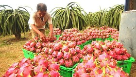 The farmer is harvesting dragon fruits  (Photo: SGGP)